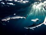 Un festin de requins
