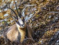 Chroniques sauvages : L'aigle et le chamois
