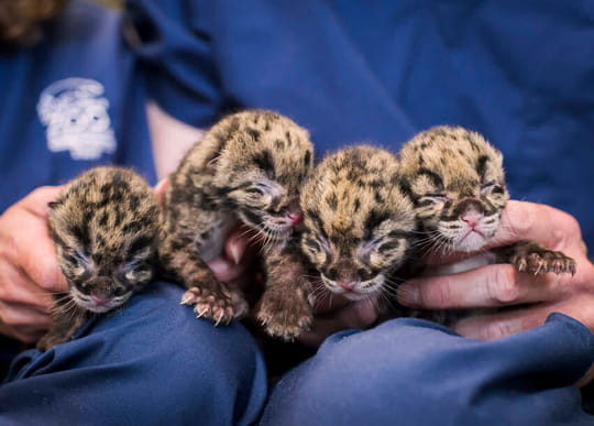 Quatre adorables bébés léopards sont nés au zoo de Washington