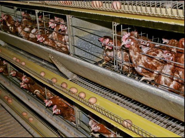 L214: des images choc de l'industrie alimentaire