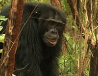 L'évolution en marche : Les chimpanzés à la conquête de la savane
