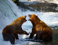 Mon ami Casey : Grizzly contre ours polaire