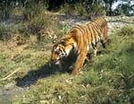 Sur les traces du tigre du Bengale
