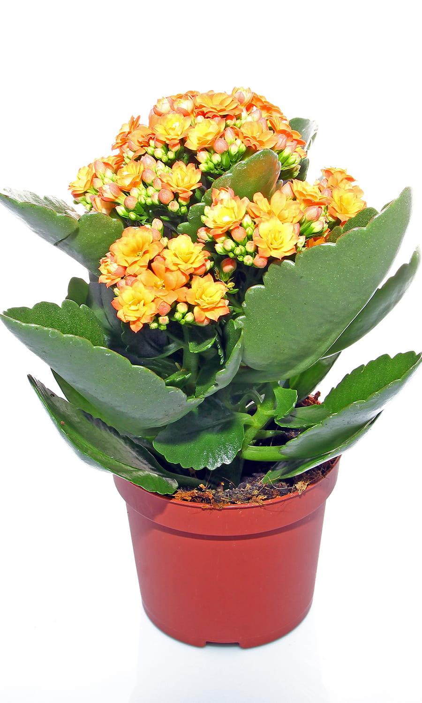 plante grasse kalanchoe