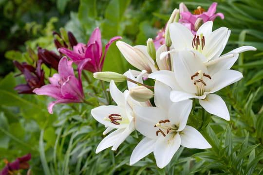 Lys: plantation, entretien et floraison