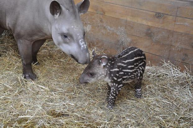 Un tapir à Planète sauvage