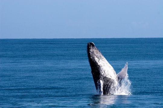 Les baleines à bosse de Samaná