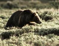 Mon ami Casey : La nuit du grizzly