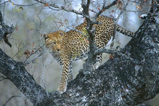 Le léopard, presque sorti d'affaire