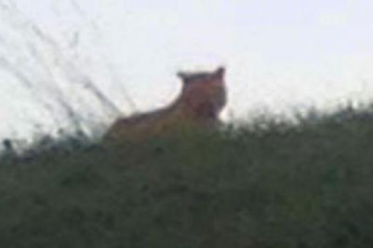 Tigre toujours en liberté: aperçu vers 14heures, bientôt capturé?