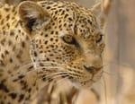 Le léopard le plus rare du monde