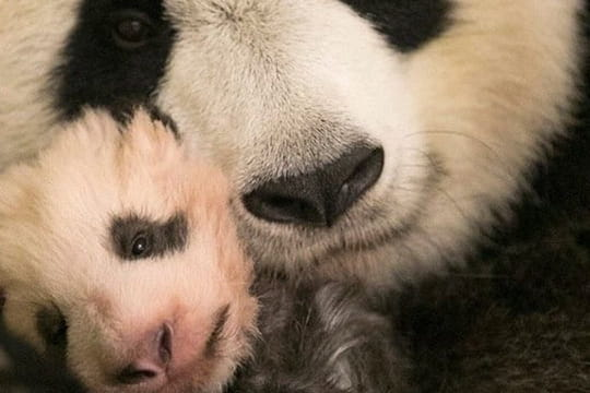 Zoo de Beauval: découvrez Mini Yuan Zi, sa nouvelle mascotte
