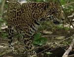 Costa Rica, territoire du jaguar