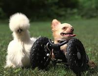Drôles d'amis : Le chihuahua et le poussin