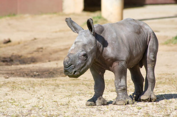 Un rhinocéros au Safari de Peaugres
