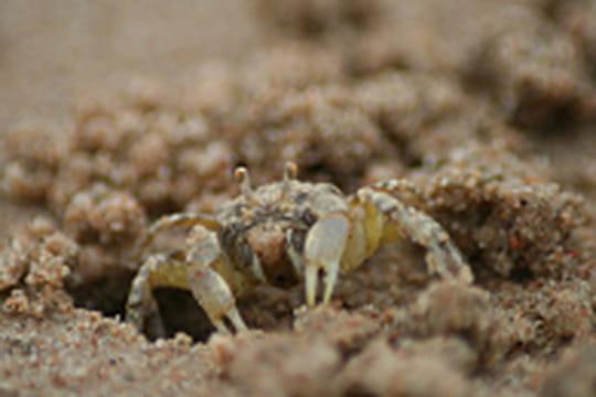 Des crabes artistes sur les plages du monde
