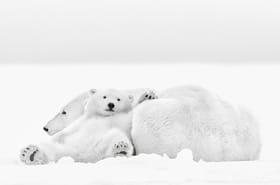 A la rencontre des ours polaires de l'Arctique