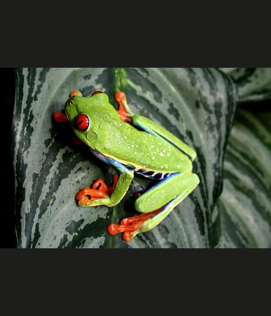 Les yeux rouges de la rainette du Costa Rica