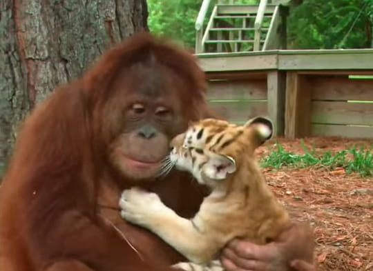 Un orang-outan pouponne des bébés tigres
