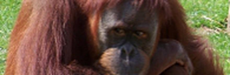 Ken à la rescousse des orangs-outans