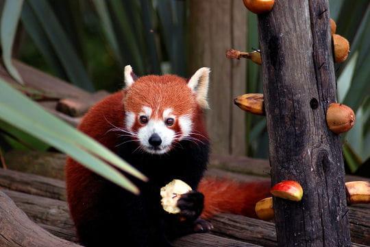 Le panda roux, espèce menacée