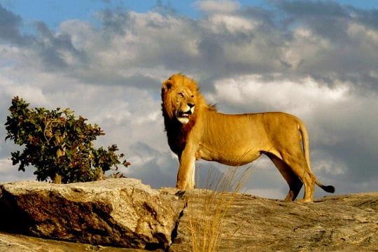 Le lion roi de la savane - Voir le roi lion ...