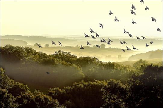 Envol de palombes