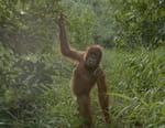 Le dernier paradis des orangs-outans