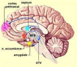 coupe transversale du cerveau.