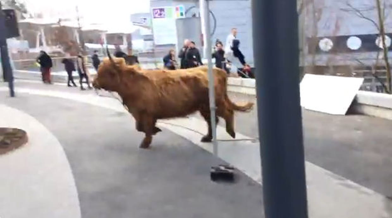 Salon de l 39 agriculture une vache s 39 chappe du parc des for Porte h salon de l agriculture