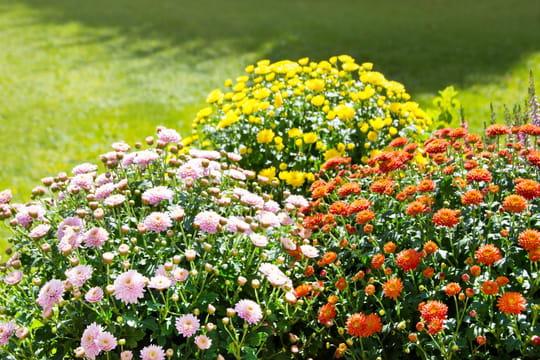 Chrysanthème: plantation, entretien et floraison