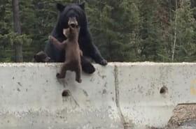 Une maman ours sauve son bébé coincé sur l'autoroute