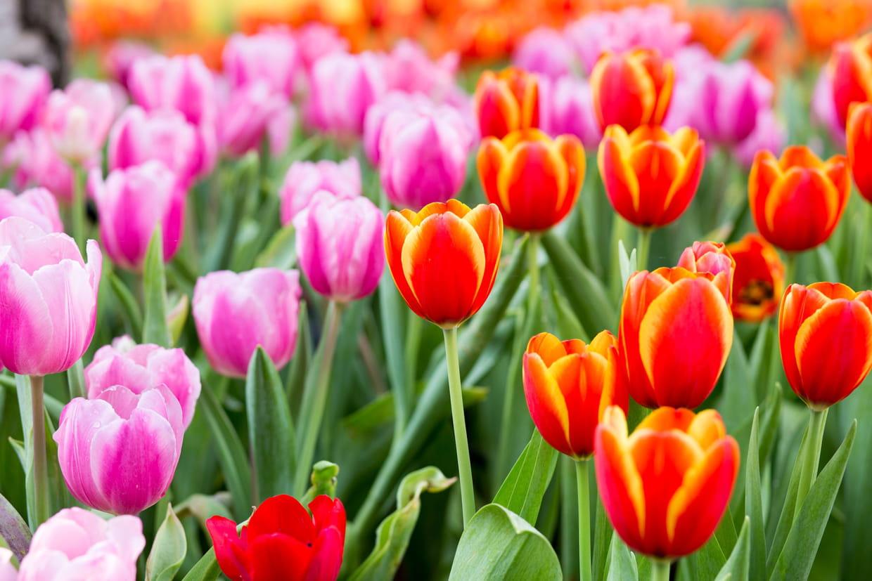 Doit On Deterrer Les Oignons De Tulipes tulipe : plantation, entretien et floraison