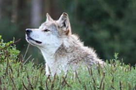 En Allemagne, le loup ne fait plus peur