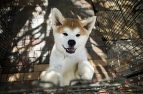 L'Akita, le chien japonais qui a conquis les coeurs étrangers