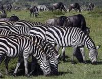 Planète safari : Serengeti, la grande migration