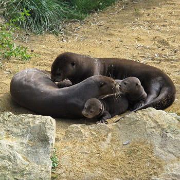 des bébés loutres géantes avec leurs parents.
