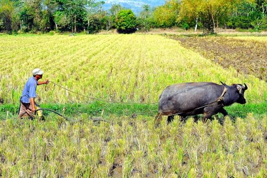 Travail dans les rizières
