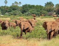 Grands voyageurs de la nature : Les éléphants