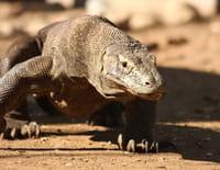 La morsure du dragon de Komodo