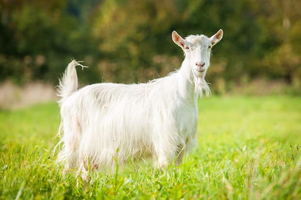 Rwanda : manger de la viande de chèvre fait pousser la barbe des femmes