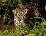 Jaguar, félin fantôme