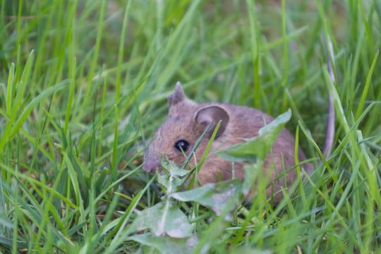 Rat des champs: nos méthodes pour les éliminer