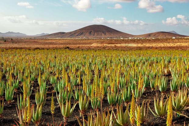 Les plantations d'aloé vera