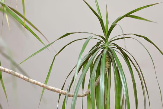 Dracaena marginata: entretien et arrosage