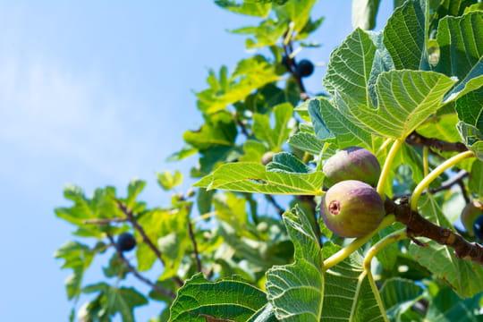 Figuier: plantation, entretien, taille et feuilles toxiques