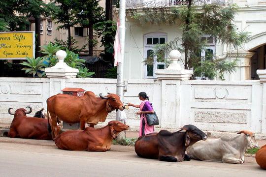 Les vaches sacrées de Bombay