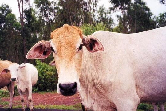 Vaches thaï