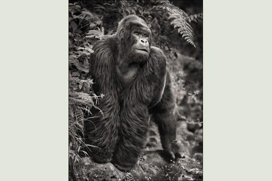 Gorille sur un rocher