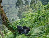 Sur les routes d'Ushuaïa : Gorilles en danger